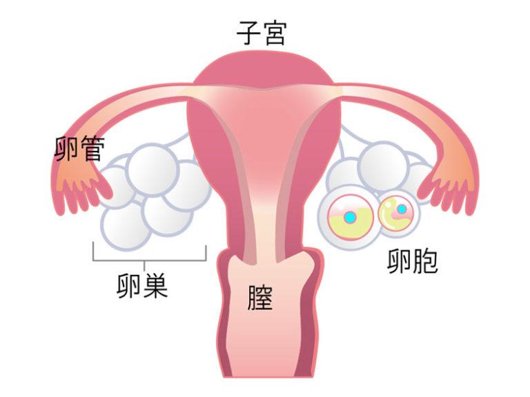 卵胞イメージ